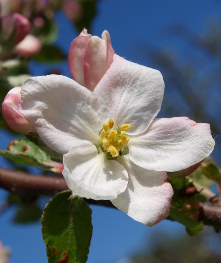 Neu aufblühen / Apfelbaumblüte / Bild: Robert Knüsel