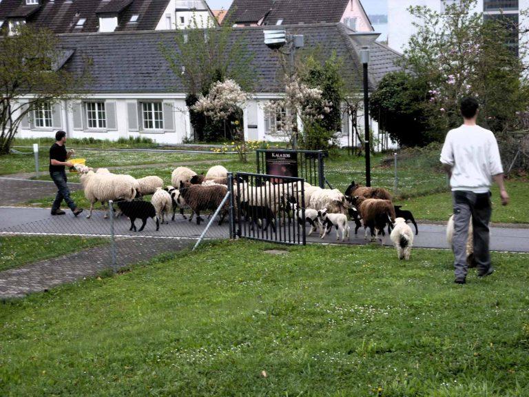 Schafe statt Rasenmäher auf  Kirchenland: ein «tierisches» Beispiel aus dem Thurgau. | © 2015 pd